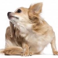 Flea_treats_for_pets
